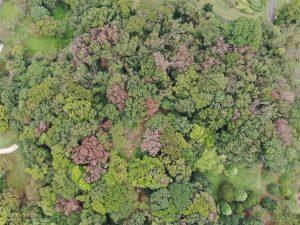 赤茶色がナラ枯れ木です。